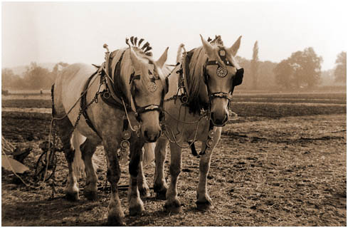 ploughing horses resting between cutting furrows