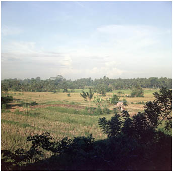 Balinese Rice Paddy