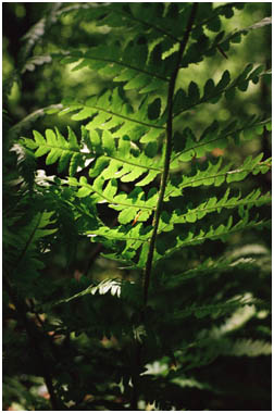 Backlit fern leaves