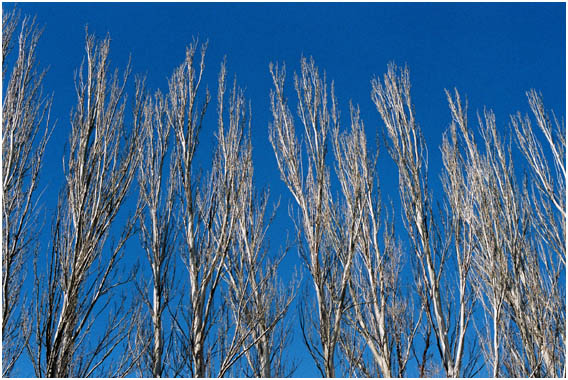White barked trees. stark against azure blue sky
