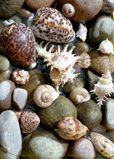 shells found on a beach on         Phu Quoc