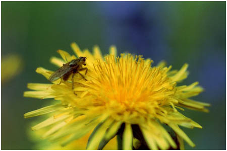 Fly sitting on Dandelion