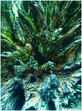 rotting root system of a once mighty Redwood tree
